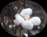 250px-CottonPlant